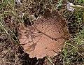 Дождевик мешковатый - Lycoperdon utriforme - Mosaic puffball - Полска пърхутка - Hasen-Stäubling (28512780765).jpg