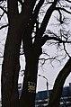 Дуб-довгожитель. Фото 2.jpg