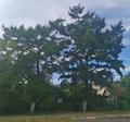 Лиственничная обсадка во дворе школы №90.png
