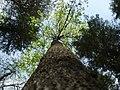 Облако молодой листвы - panoramio.jpg