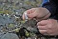 Поиск хирономид в высокоширотной Арктике.jpg