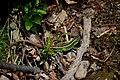 Скелі Довбуша Самець ящірки пруткої DSC 0578.jpg