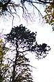 Сосна чорна у сквері Молодіжному Кам'янець-Подільському. Фото 2.jpg