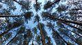 Сосны в Смоленском Поозерье.jpg