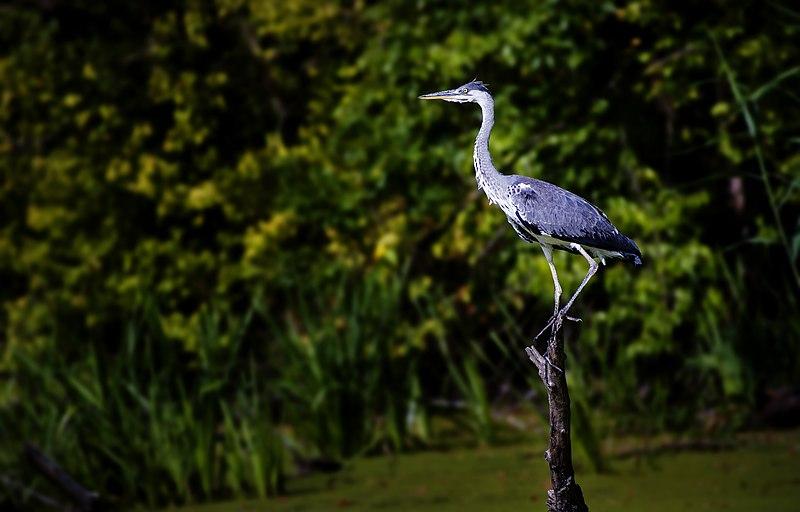 File:Специјални резерват природе Царска бара 7.jpg