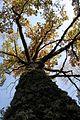 Старый дуб.jpg