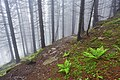 Туманний карпатський ліс.jpg