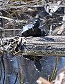 Черепахи в Олександрії2.jpg
