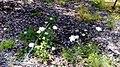 הרבה פרחים לבנים.jpg