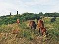 بقر ترعي الأعشاب في موقع ليكسوس قرب مدينة العرائش المغربية.jpg
