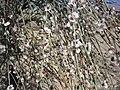 گل بادام کوهی - panoramio.jpg