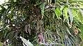 अशोक के वृक्ष के फूल एवं बीज - 3.jpg