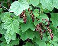 მოცხარი მთის Ribes alpinum Alpenjohannisbeere.JPG