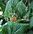 ჟოლო ყვითელი Rubus idaeus Yellow Raspberry.JPG