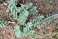 რძიანა მვირსინფოთოლა Euphorbia myrsinites Walzenwolfsmilch.JPG