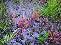 ナガバノモウセンゴケ(長葉の毛氈苔)(Drosera anglica Huds.) (5965994833).jpg