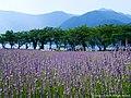 ラベンダーと夏の湖(Field of Lavender in Kawaguchiko) 17 Jul, 2015 - panoramio.jpg