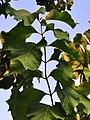 柚木 Tectona grandis 20200922091141 03.jpg