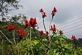 火炬刺桐 Kaffir Coral Tree (Erythrina caffra Thunb.) - panoramio.jpg