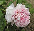 牡丹-軟玉溫香 Paeonia suffruticosa 'Soft Warm & Fragrant' -菏澤曹州牡丹園 Heze, China- (12517021793).jpg