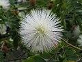 白絨球 Calliandra haematocephala -香港禮賓府 Hong Kong Government House- (9240154976).jpg