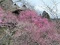 筑波山梅林 - panoramio.jpg
