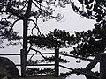 绝壁奇松 - panoramio.jpg