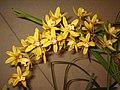 蕙蘭 Cymbidium Miniature Group -香港沙田洋蘭展 Shatin Orchid Show, Hong Kong- (9216114470).jpg