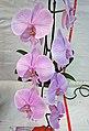 蝴蝶蘭 Phalaenopsis Yu Pin Fireworks -香港花展 Hong Kong Flower Show- (32907732293).jpg