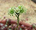 長生草屬 Sempervivum ciliosum -牛津大學植物園 Oxford Botanic Garden- (9222653624).jpg
