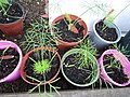 -2020-07-17 Fennel seedlings (Foeniculum), Trimingham, Norfolk.JPG