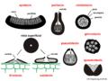 04 03 02 cuerpos fructíferos, Ascomycota (M. Piepenbring).png