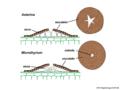 04 03 55 cuerpos fructíferos, Asterinaceae, Microthyriales, Ascomycota (M. Piepenbring).png