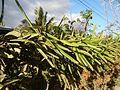 0638jfPaddy fields Pitaya Ilog-Bulo San Miguel Bulacan Farm Market Roadfvf 10.jpg