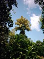 09 - Parc de Deshaies Talipot (4).jpg