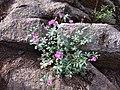 170808-FS-Tahoe-Checkermallow (36177062650).jpg