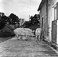 1958 visite d'une délégation INRA au Haras du Pin Cliché Jean Joseph Weber-4-1.jpg