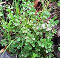 1 Oxalis pes-caprae var pes-caprae - Kenwyn Nature Park.jpg