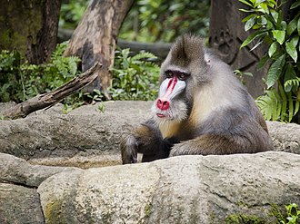 Singapore Zoo - A mandrill