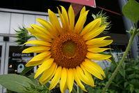 2008-07-07 Sunflower at Whole Foods Market in Durham.jpg