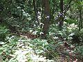2009-06-17 Flora am Eisenstein (Niederösterreich) 3.jpg