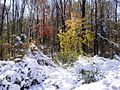2011-10-30 04-Trees along Pleasant Valley Road in Hopewell Township, Mercer County, New Jersey after 6 to 7 inches of snow fell the previous day during the 2011 Halloween nor'easter.jpg