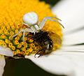 2012-06-24 17-15-39-thomisidae-on-flower.jpg