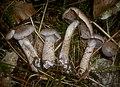 2013-09-29 Cortinarius spilomeus (Fr.) Fr 393955.jpg