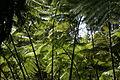 2013.10.31.113316 Hapuu pulu tree fern (Cibotium glaucum) Hawaii Volcanoes National Park Hawaii.jpg