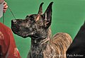 2013 Westminster Kennel Club Dog Show- Great Dane (8469036342).jpg