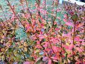 2014-12-20 13 06 47 Leaf coloration of Azalea cultivar 'Rosebud' during early winter along Terrace Boulevard in Ewing, New Jersey.JPG