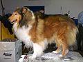 2014 Westminster Kennel Club Dog Show (12452128984).jpg