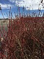 2015-03-16 14 17 16 Oisier Dogwood in winter at the Northeastern Nevada Museum in Elko, Nevada.JPG