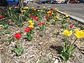 2015-04-19 14 18 16 Yellow and red tulips along Railroad Street in Elko, Nevada.jpg